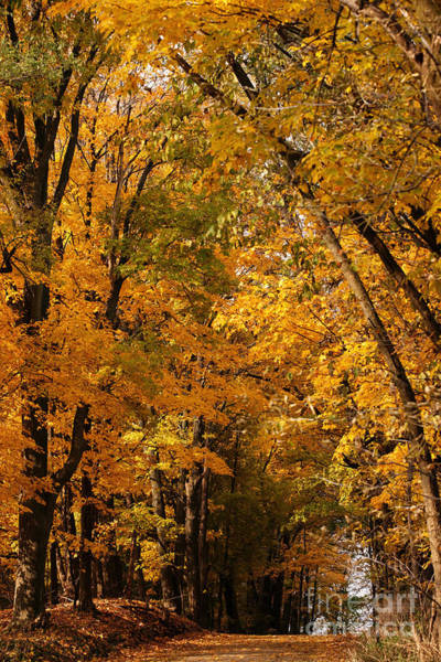 Photograph - The Golden Wooded Road by Linda Shafer