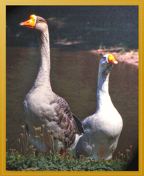 Gander Photograph - The Goose And The Gander by Patricia Keller