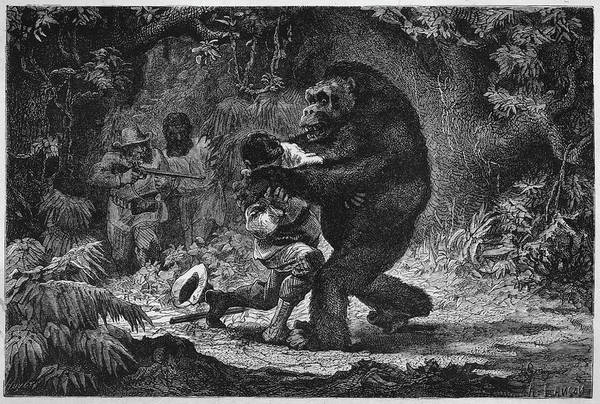 Wall Art - Drawing - The Gorilla Does Not Go Out Of  Its Way by Mary Evans Picture Library