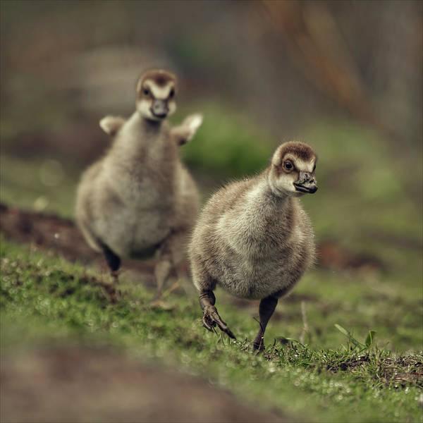 Gosling Photograph - The Gosling Sprint by Blackcatphotos