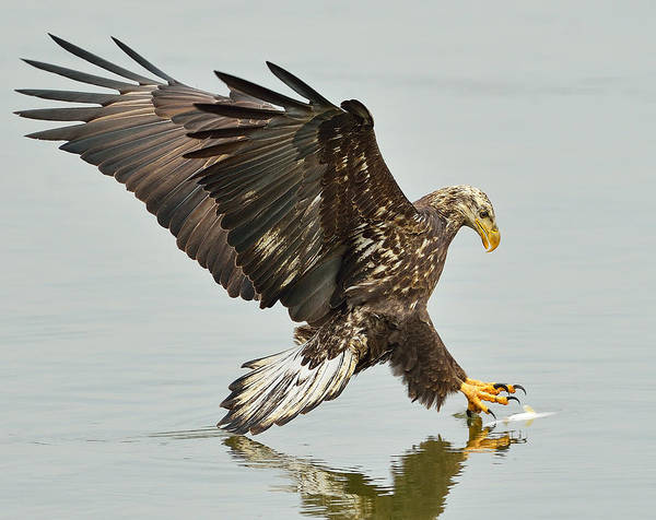Photograph - The Grab -- A Young Eagle Hunting by William Jobes