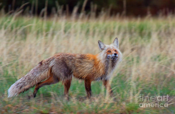 Photograph - The Grateful Vixen by Jim Garrison