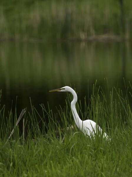 Wall Art - Photograph - The Great Egret 1 by Thomas Young