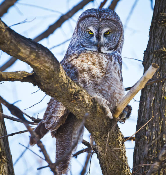 Photograph - The Great Gray Owl by Ricky L Jones