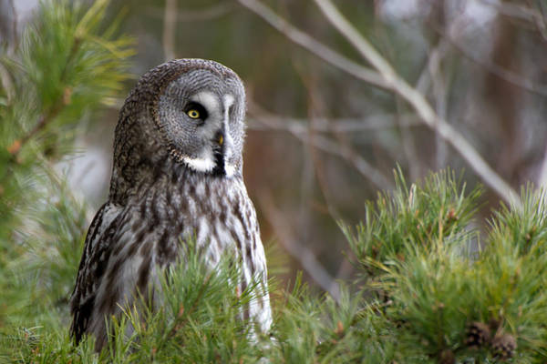 Photograph - The Great Grey Owl by Torbjorn Swenelius