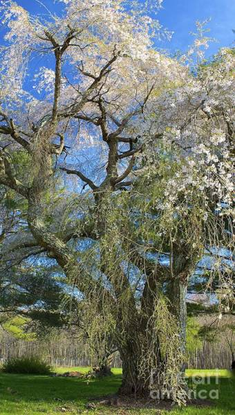 Photograph - The Great Tree In Blossom by Amazing Jules
