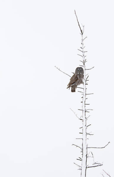 Wing Back Photograph - The Grey Hunter On White by Mircea Costina Photography