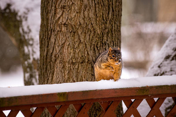 Photograph - The Grey Squirrel George In Winter by  Onyonet  Photo Studios