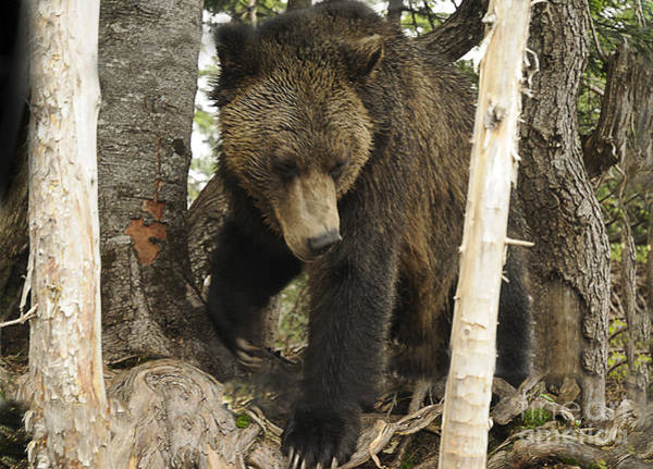 Photograph - The Grizzly Bears Territory by Brenda Kean
