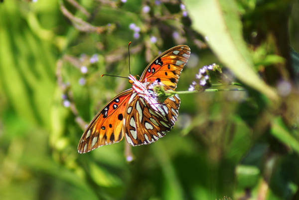Photograph - The Gulf Fritillary Butterfly by Kim Pate
