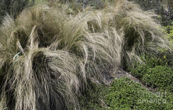 Pennisetum Photograph - The Hair Of Winter by Arlene Carmel