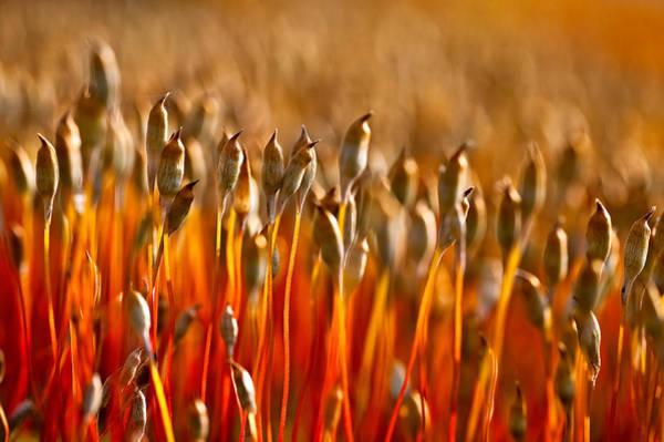 Photograph - The Haircap Moss by Tomasz Dziubinski