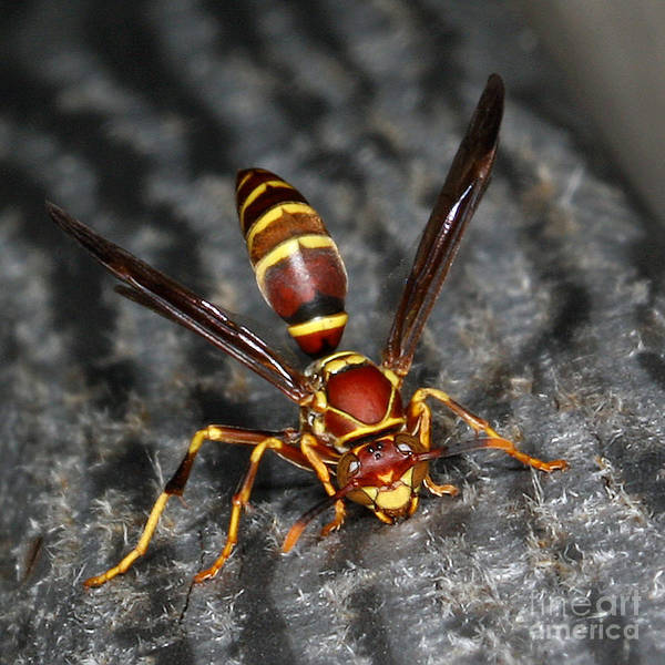 Photograph - The Happy Hornet by Geoff Crego