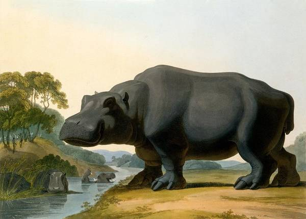 River Bank Drawing - The Hippopotamus, 1804 by Samuel Daniell