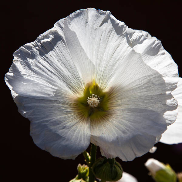 Alcea Photograph - The Hollyhock by David Patterson