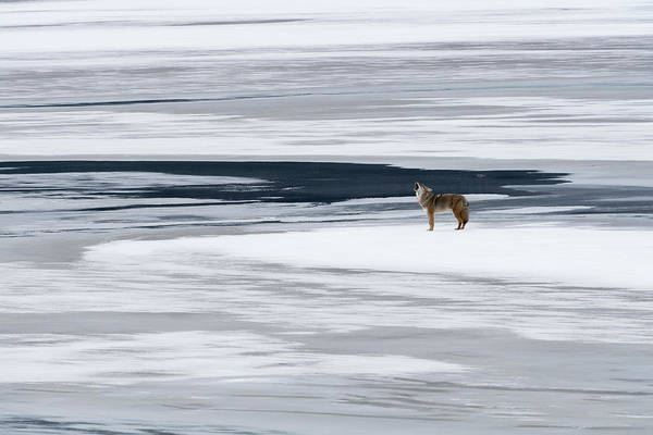Canadian Photograph - The Howl Of The Coyote by Miquel Angel Art?s