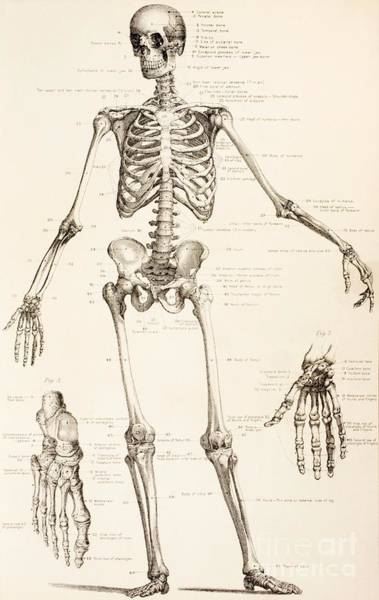 Wall Art - Drawing - The Human Skeleton by English School