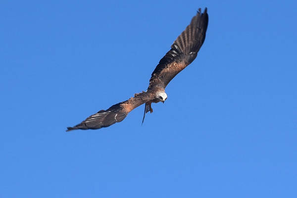 Photograph - The Hunter In Flight by Cliff Norton