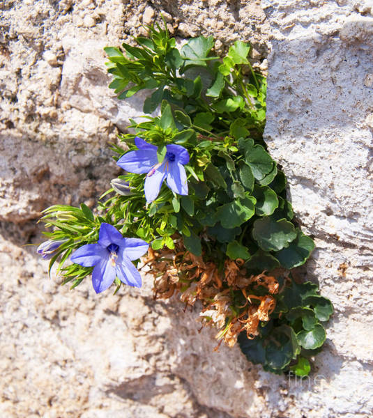 Photograph - The Indomitable Wall Flower by Brenda Kean