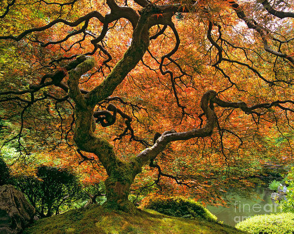 Hemisphere Wall Art - Photograph - The Japanese Maple by Timm Chapman