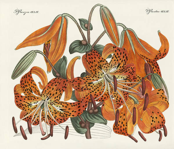 Lily Drawing - The Japanese Tiger Lily by Splendid Art Prints