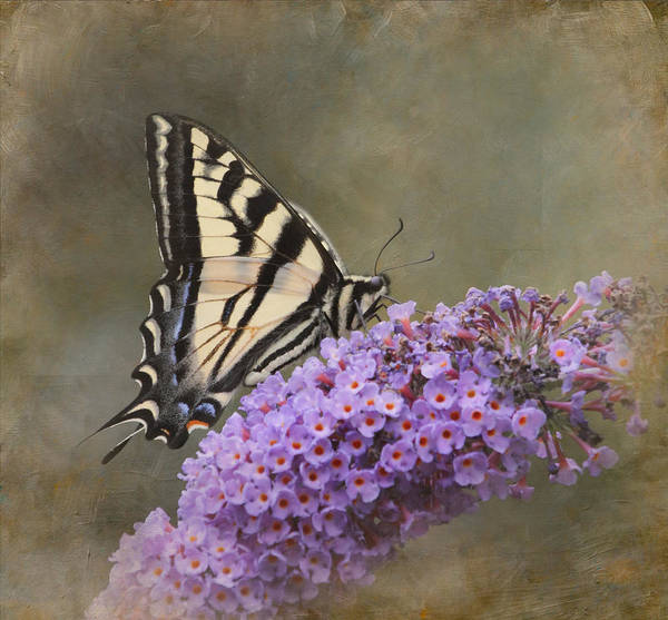 Butterfly Bush Wall Art - Photograph - The Joy Of Nectar by Angie Vogel
