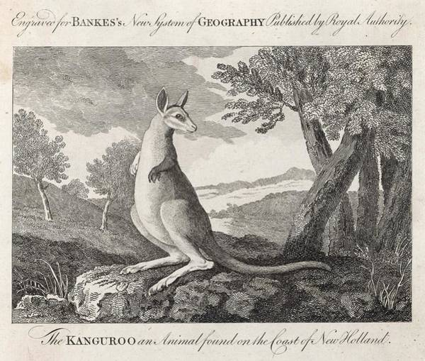 Kangaroo Drawing - 'the Kanguroo An Animal Found by Mary Evans Picture Library