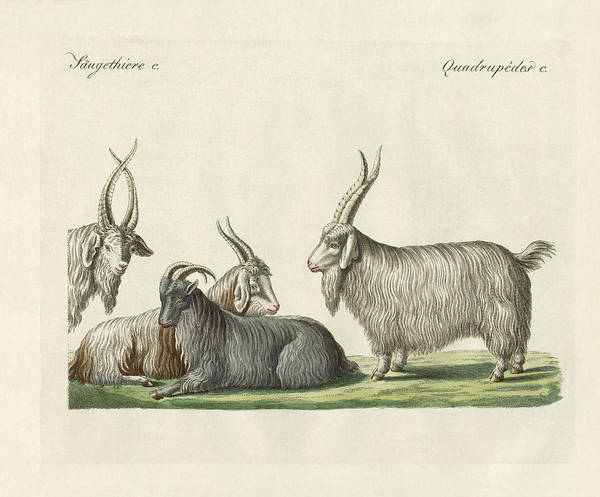 Wall Art - Drawing - The Kashmir Goats Introduced In France by Splendid Art Prints