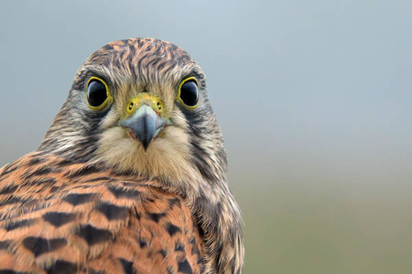 Photograph - The Kestrel Face To Face by Torbjorn Swenelius