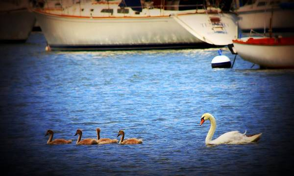 Swan Boats Photograph - The Kids Lead The Way by Aurelio Zucco