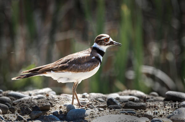 Shorebird Photograph - The Killdeer by Robert Bales