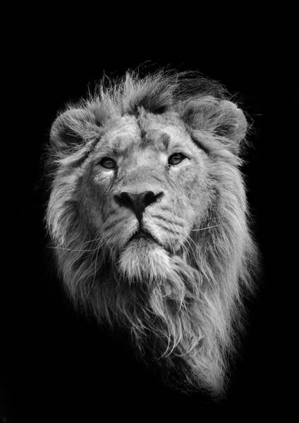 Black Background Photograph - The King Asiatic Lion by Stephen Bridson Photography