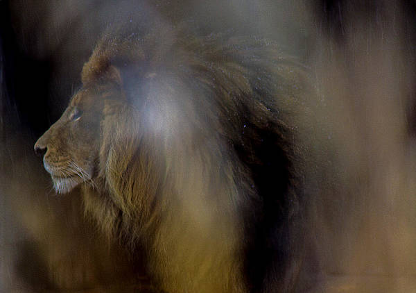 Lion In Winter Photograph - The King Dreams by J Allen