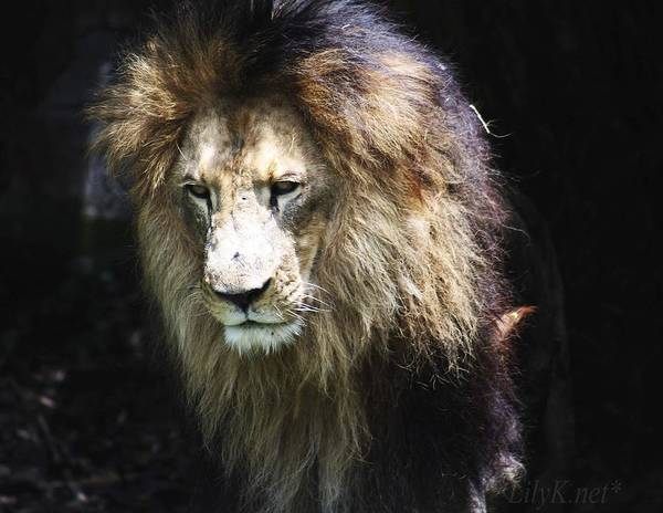 Photograph - The King In The Shadows by Lily K