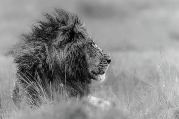 Mane Wall Art - Photograph - The King Is Alone by Massimo Mei