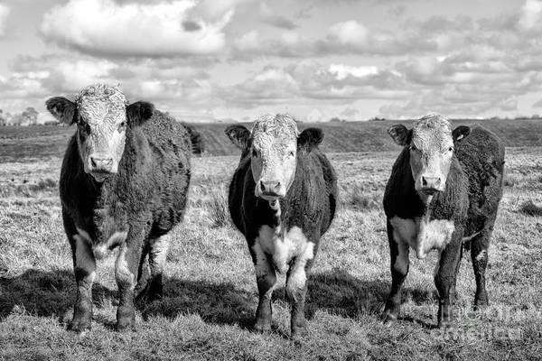 Lama Wall Art - Photograph - The Ladies Three Cows by John Farnan