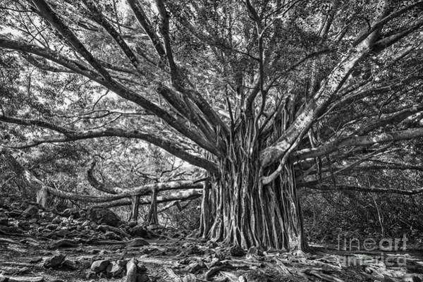 Indian Banyan Photograph - The Large And Majestic Banyan Tree Located On The Pipiwai Trail  by Jamie Pham