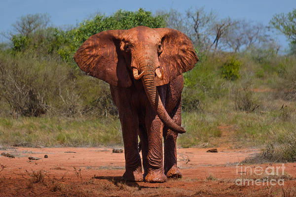 Photograph - The Largest Terrestrial Animal by Gary Keesler