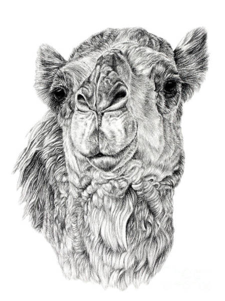 Drawing - The Leader by Pencil Paws