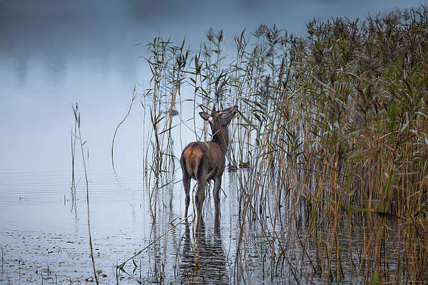 Red Deer Photograph - The Leaf Eater by Kieran O Mahony