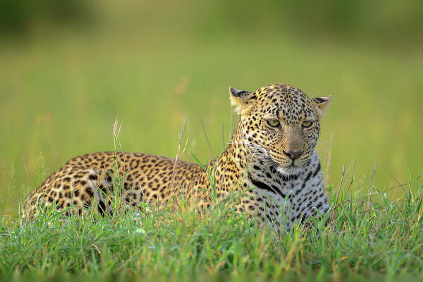 Wild Grass Photograph - The Leopard by Roshkumar