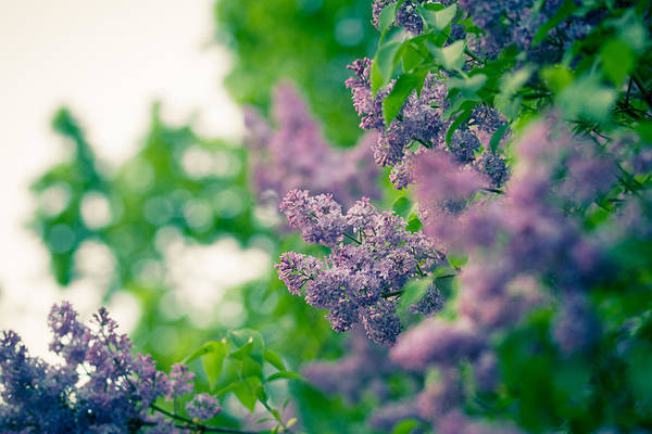Photograph - The Lilac by Andreas Levi