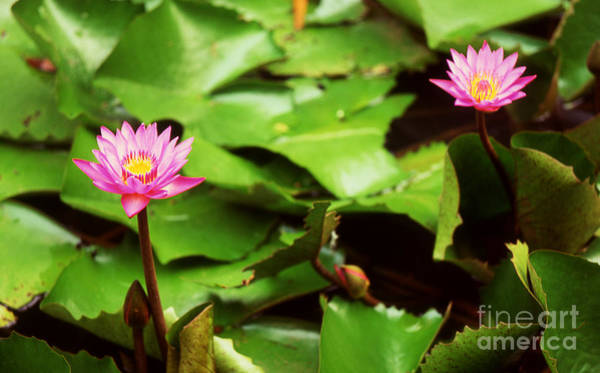 Photograph - The Lily Pond by Paul Cowan