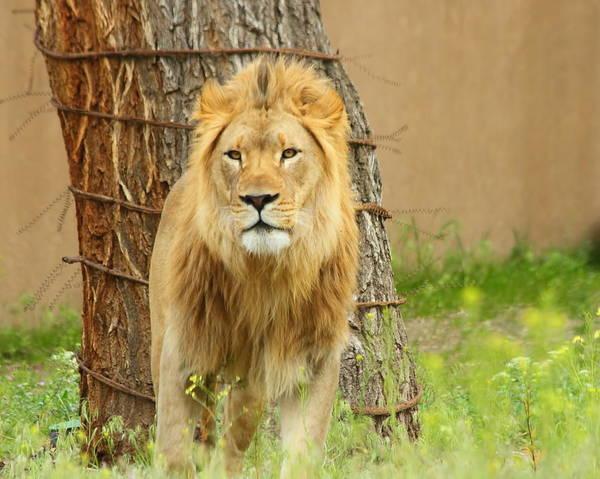 The Lion Art Print by Gene Praag