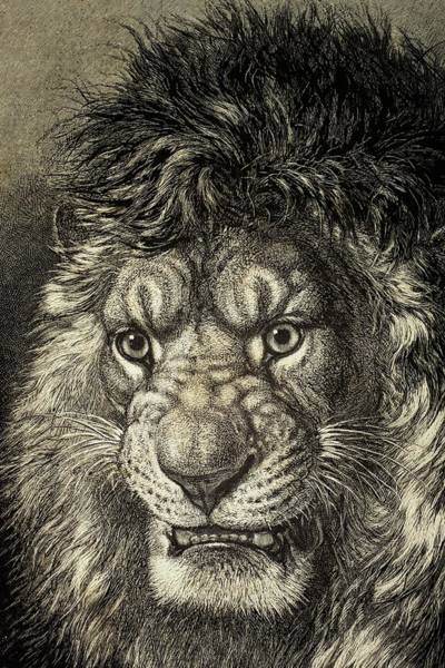 Growling Wall Art - Drawing - The Lion by European School