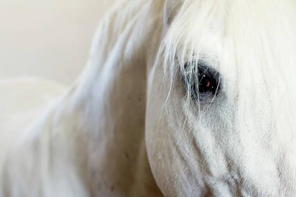 Wall Art - Photograph - The Lipizzaner Horse Look by Mataya