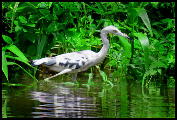 Photograph - The Little Blue Heron by Gary Keesler