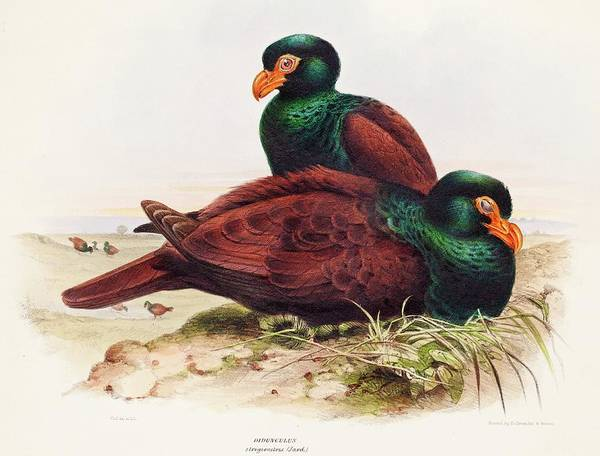 Relative Photograph - The Little Dodo Didunculus Toothed Pigeon by Paul D Stewart