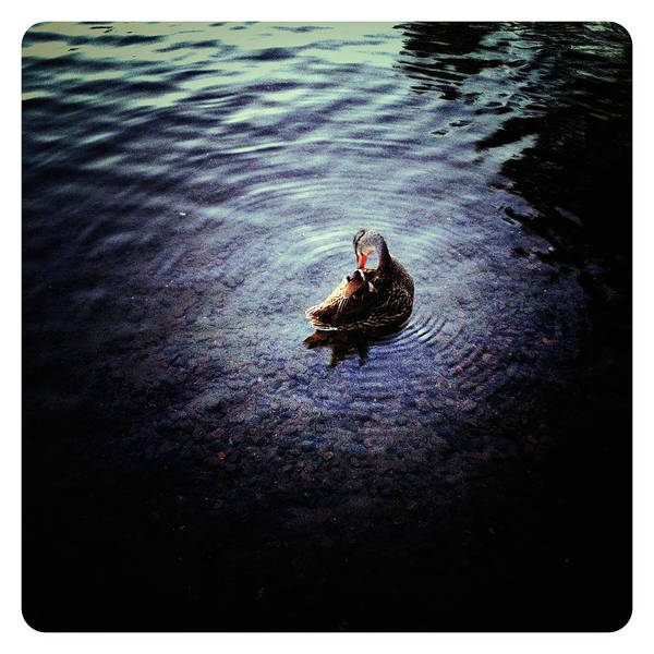 Photograph - The Little Duck On The Northern Lake by Natasha Marco