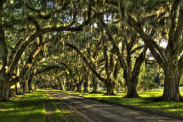 Photograph - Majestic Tomotley Plantation Live Oaks Trees Beaufort South Carolina Art by Reid Callaway